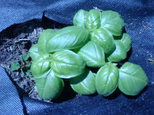 Basil (next to Cumin and Cilantro...one of my fav. spices)