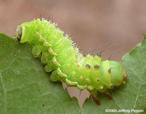Pretty Luna Moth…(Challenge Day 2)   Upon My Word…